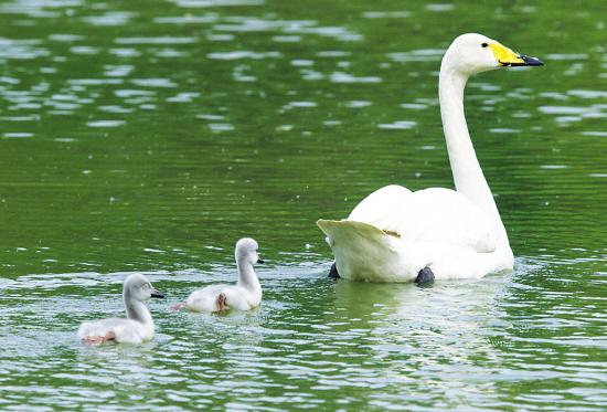 动物园的一对大天鹅情侣在自然环境中孵育出两只天鹅宝宝 -吉林日图片