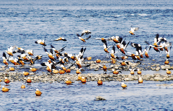 近日,大批野鸭又陆续迁徙松花江吉林市城区段越冬,其中还有10多只在江城绝迹多年的国家一级保护动物中华秋沙鸭。近几年,吉林市沿江修建了百里清水绿带生态公园、截流了城市生活污水吐口,使松花江城区段草更美、水更清。这里成了水鸟越冬的天堂。 韩涛 摄