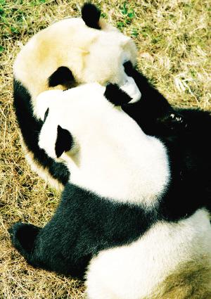 南京红山森林动物园的两只熊猫在阳光下